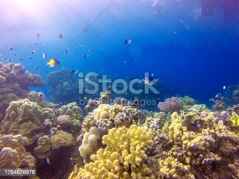 Colourful fishes on the coral reef. The beautiful hues of blue of the water contrast with the colours of the Red Sea coral reefs. Photos taken off the west coast of Saudi Arabia.