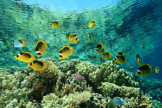an analysis of the method of biomonitoring using butterflyfishes to maintain coral reefs Porites coral care how to maintain porites corals in there is an objective method for making such including parrotfishes and some butterflyfishes.
