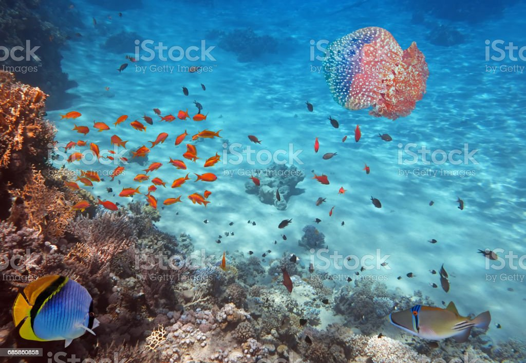 Coral Reef and Jellyfish in the Red Sea, Egypt stock photo