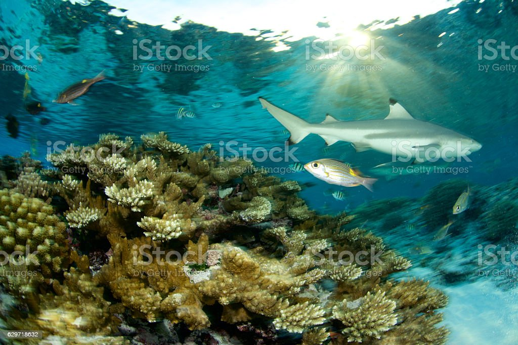 coral reef and shark stock photo