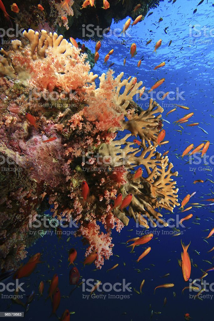 Coral Reef and Tropical Fish - Royalty-free Animal Stock Photo