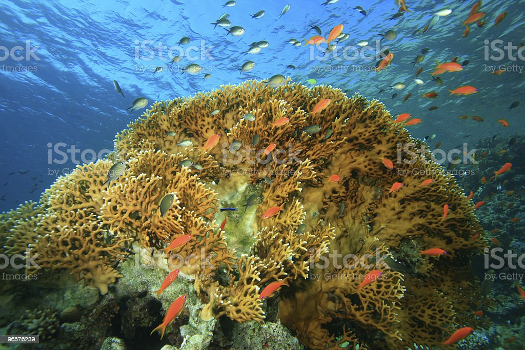 Coral Reef and Tropical Fish - Royalty-free Blue Stock Photo