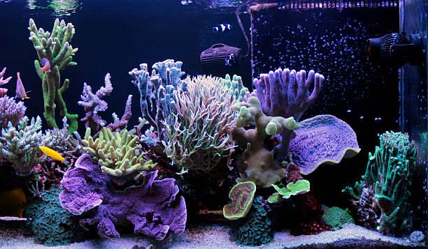 Coral reef aquarium tank SPS Dominated coral reef aquarium tank indo pacific ocean stock pictures, royalty-free photos & images