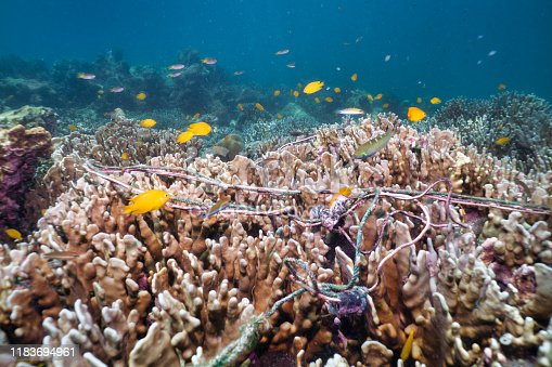 Discarded fishing lines are choking this otherwise pristine underwater coral reef. Representing the massive environmental issue that is Global Ocean Pollution and 'Ghost Nets'.  One of the largest threats to our ocean ecosystems.  Responsible for the deaths of huge amounts of Marine Life through entanglement and consumption.  The pollution was removed after taking the image. Location is Ko Rok, Andaman Sea, Krabi province, Thailand.