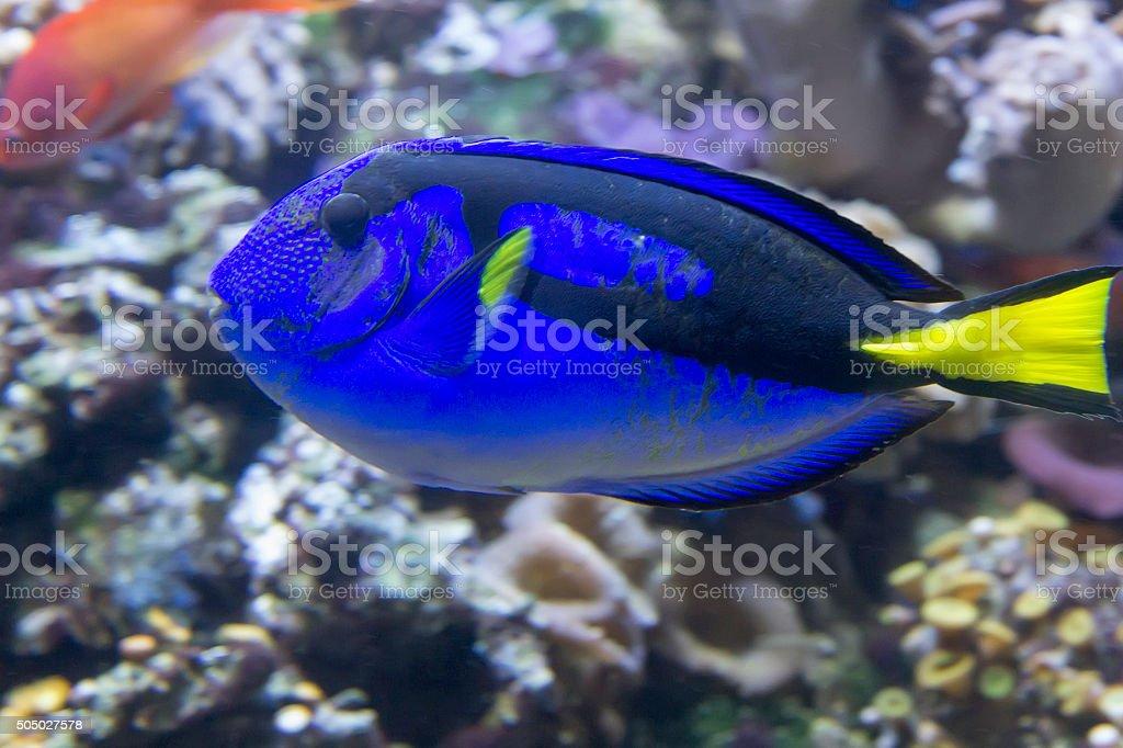 Fotografía de Peces De Arrecife De Coral Café Paracanthurus Hepatus ...