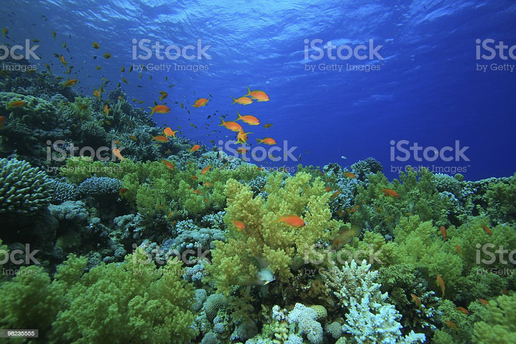 Coral reef in the Red Sea with fish royalty-free stock photo
