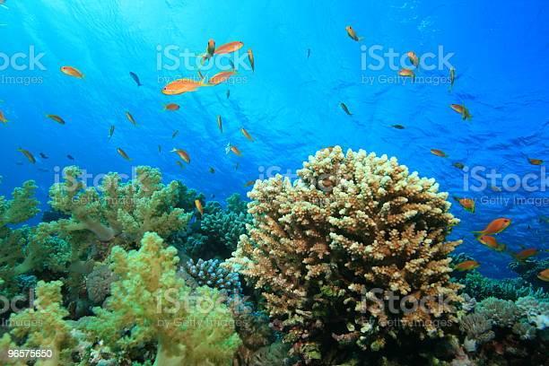 Recife De Coral - Fotografias de stock e mais imagens de Coral - Cnidário