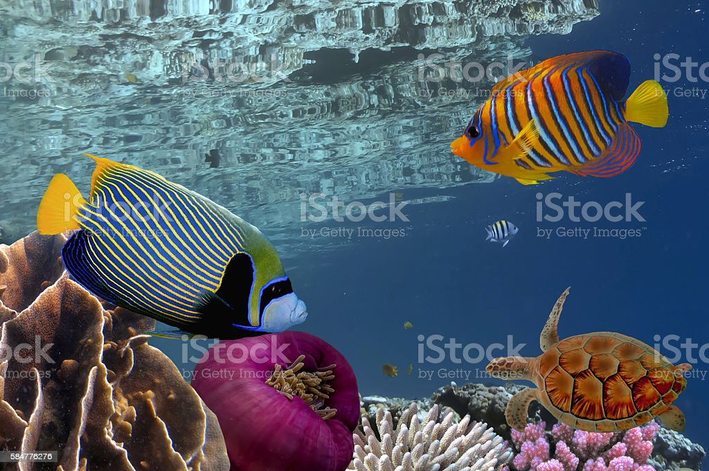 Coral reef underwater panorama with school of colorful tropical stock photo