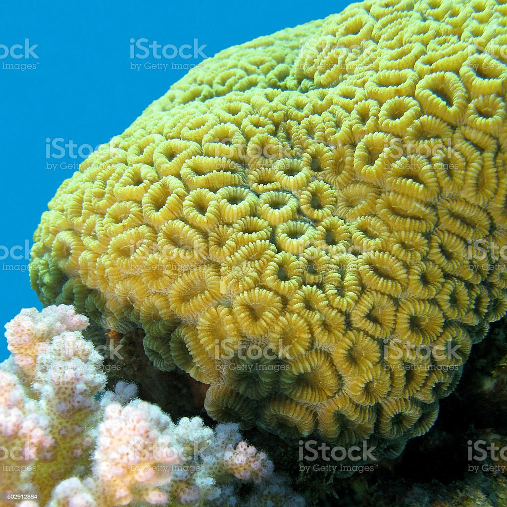 coral reef with brain coral inf tropical sea, underwater stock photo