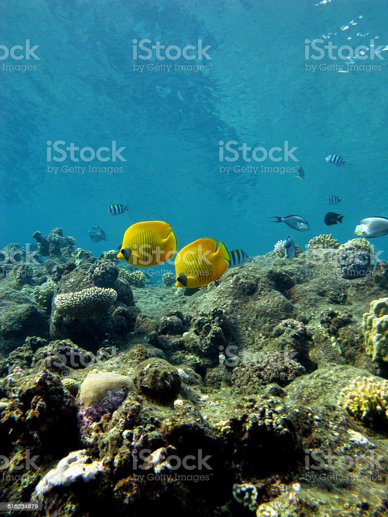 coral reef with exotic fishes butterflyfishes in tropical sea stock photo