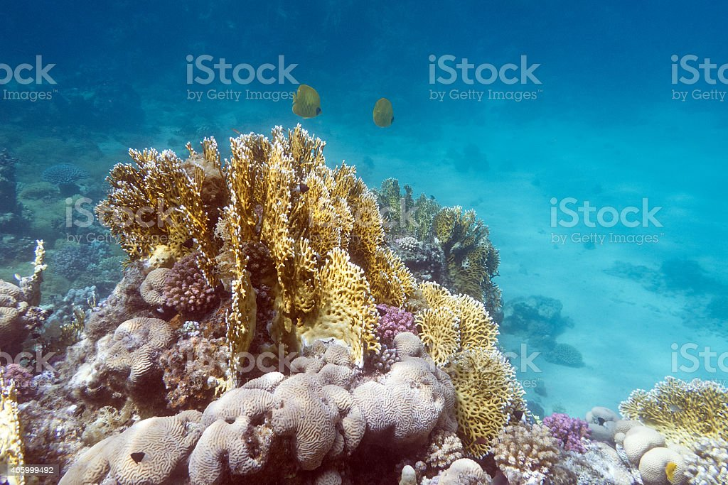 coral reef with exotic fishes butterflyfishes - underwater stock photo