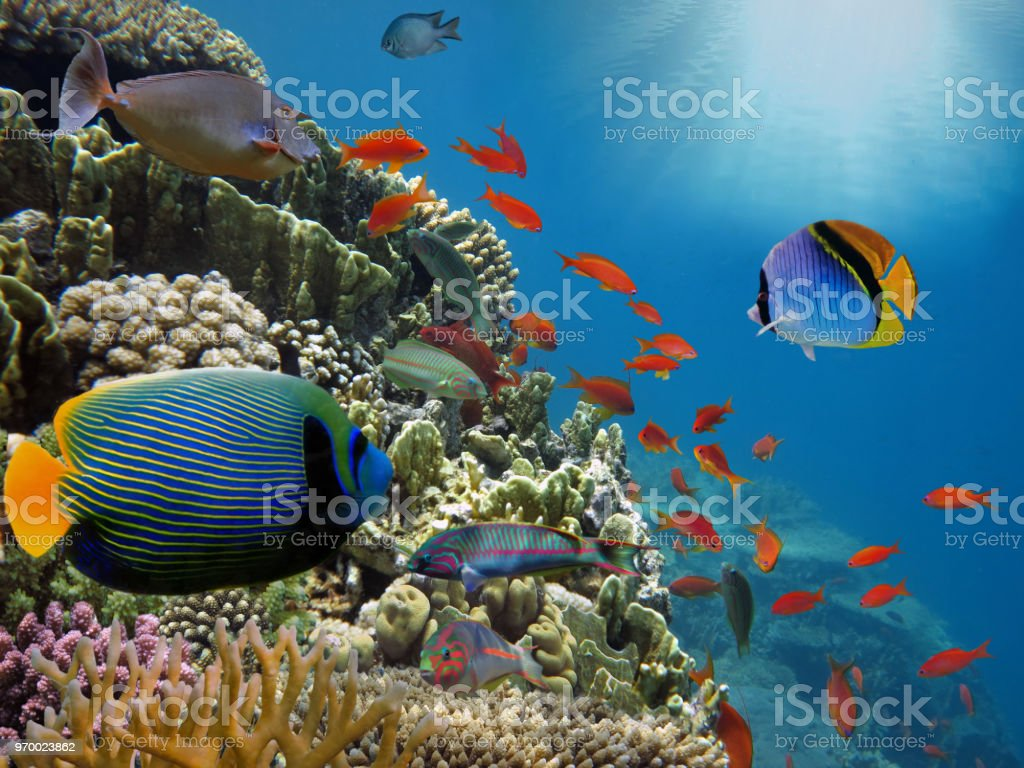 Coral reef with fire coral in tropical sea-underwater stock photo
