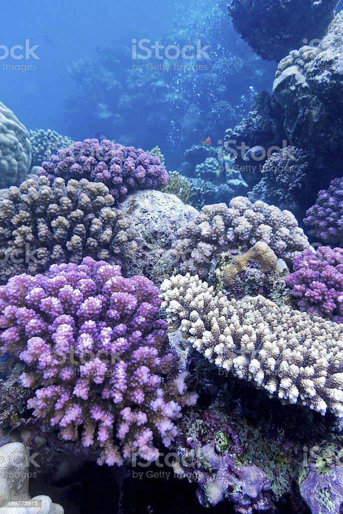 coral reef with hard violet corals in tropical  sea stock photo