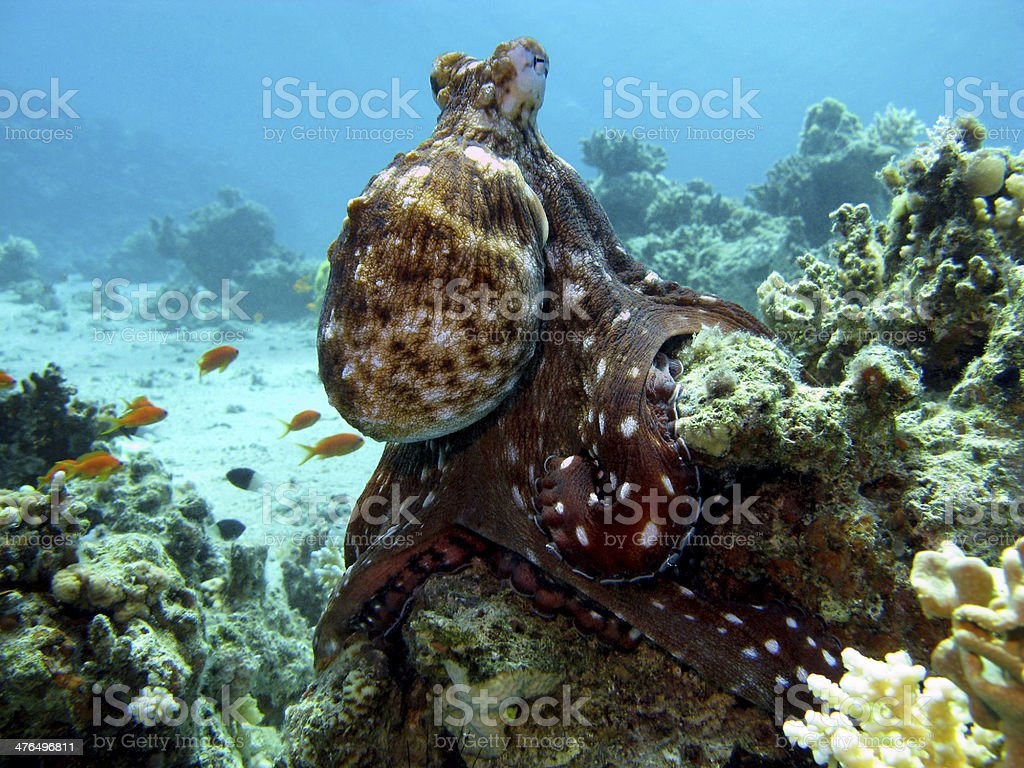 coral reef with octopus at the bottom of tropical sea stock photo