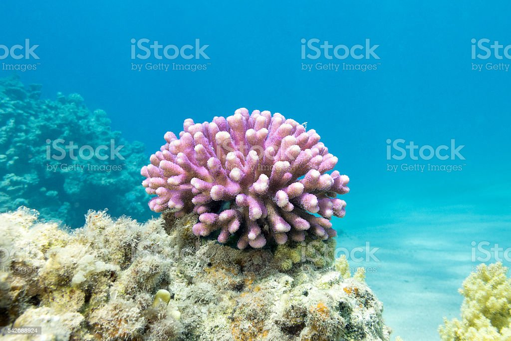 coral reef with pink finger coral in tropical sea, underwater stock photo