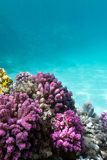 korallenriff mit rosa pocillopora coral im tropischen meer - coral and mauve stock-fotos und bilder