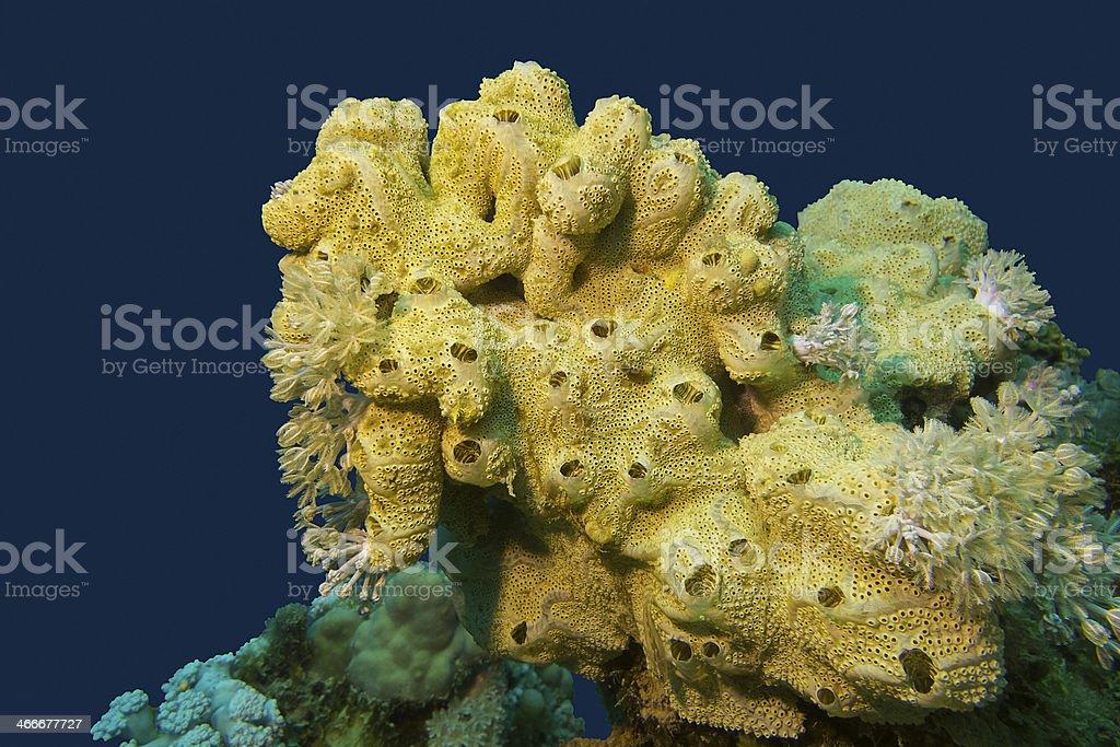 coral reef con esponja de mar en el extremo del Mar tropical - foto de stock