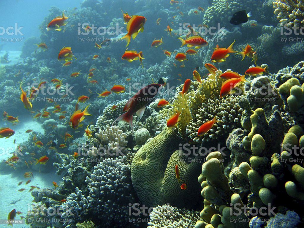 coral reef with shoal of  orange fishes stock photo