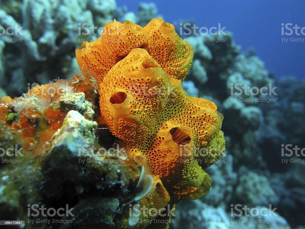coral reef con esponja en el fondo del mar tropical - foto de stock