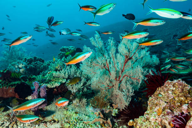 Coral Reef with Strong Current but Stunning biodiversity, Komodo Island, Indonesia stock photo