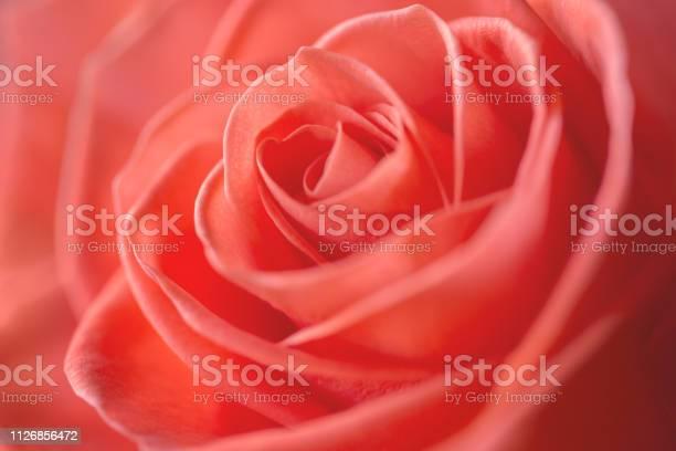Coral rose closeup selective focus picture id1126856472?b=1&k=6&m=1126856472&s=612x612&h=6qcetigj xxyk3q ayg4qcza9nqes6mohn91bydjwou=