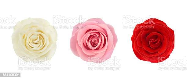 Coral rose flower detailed retouch picture id831109394?b=1&k=6&m=831109394&s=612x612&h=umbu3 yrjl6uukwp5fvmlwqp7wmpuaffpqrnkqb q k=