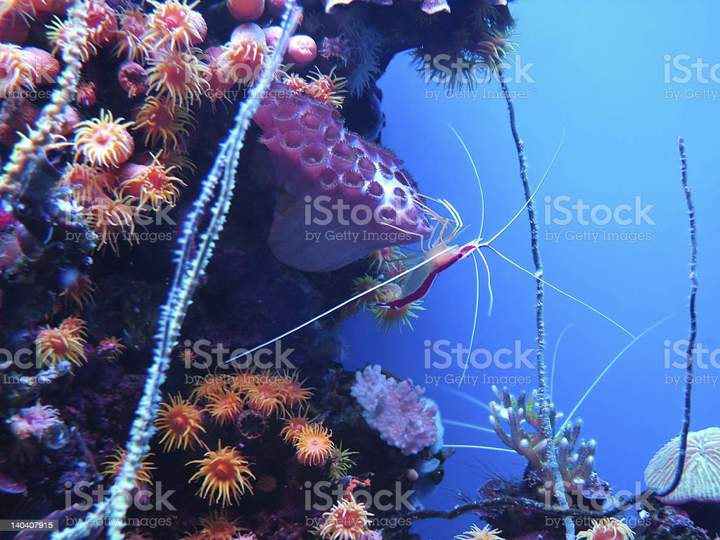 Coral Shrimp royalty-free stock photo