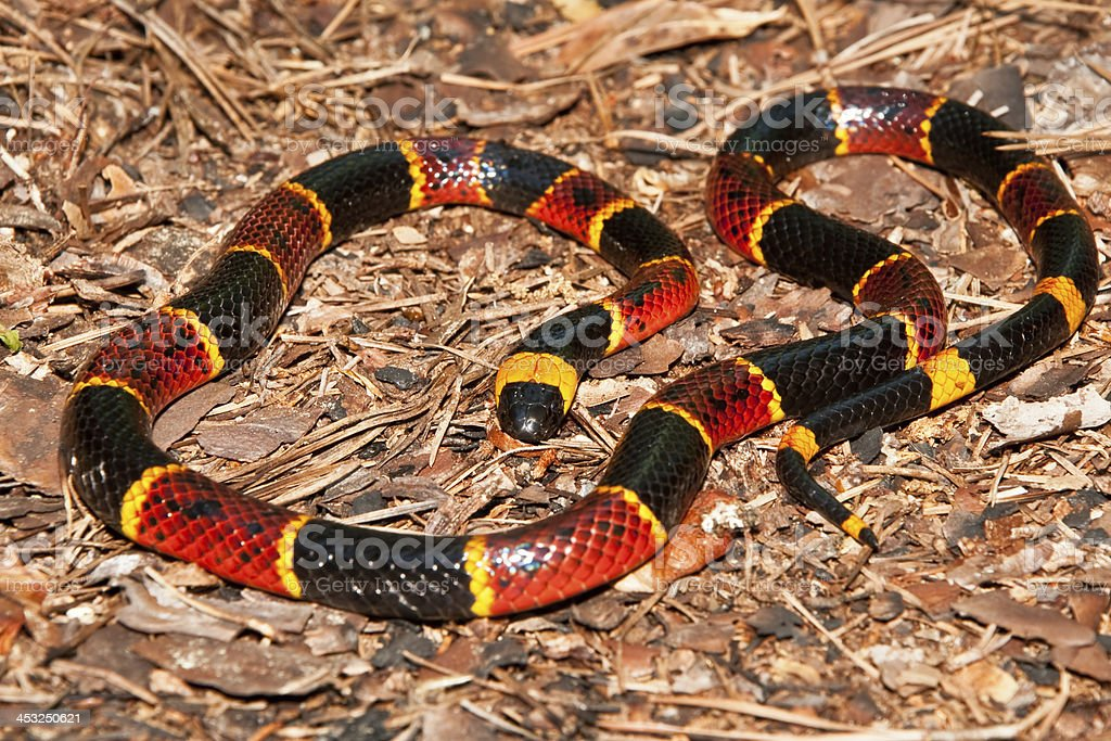 Coral Snake stock photo