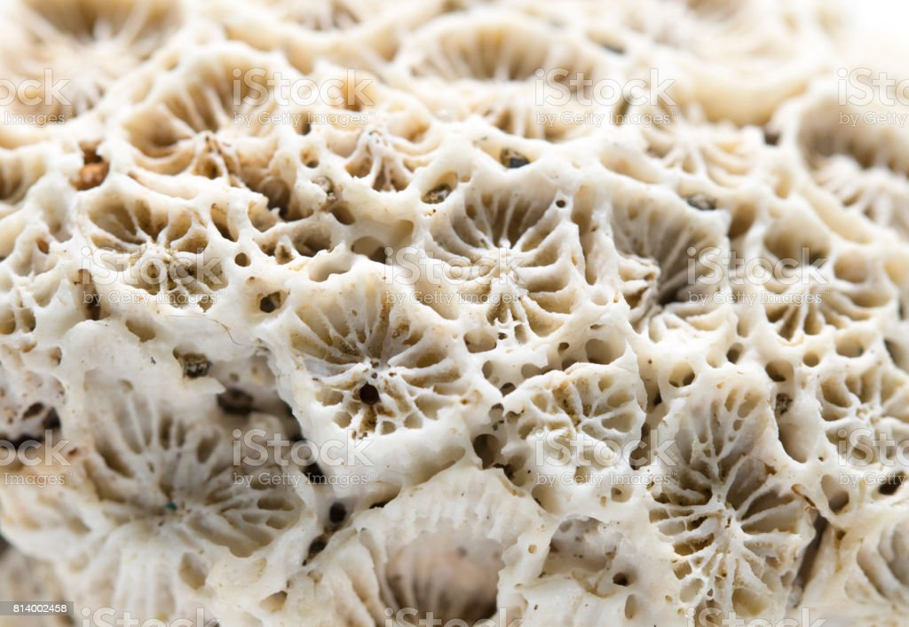 Coral texture close-up. Dead coral reef macro photo. White coral filter comb macrophotography. stock photo