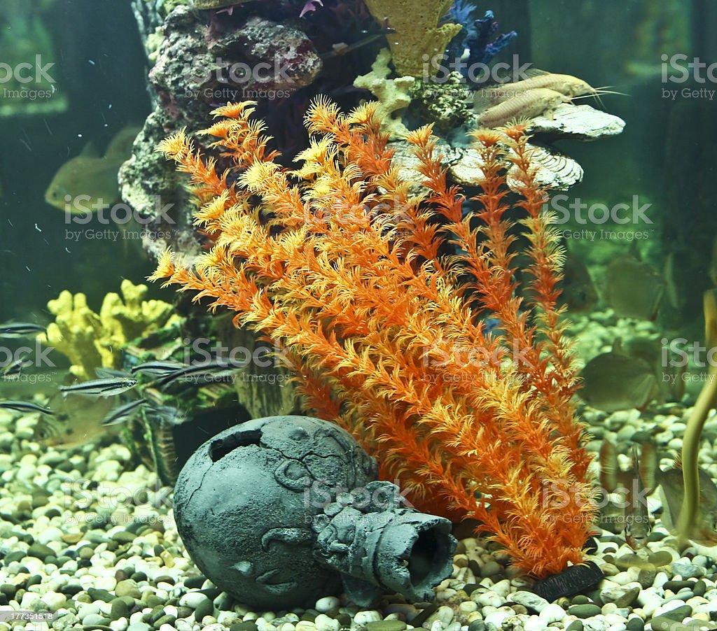 Coraux, les algues et Pichet, de l'aquarium - Photo