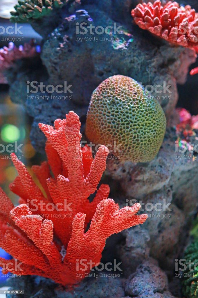 Corals in aquarium tank. stock photo