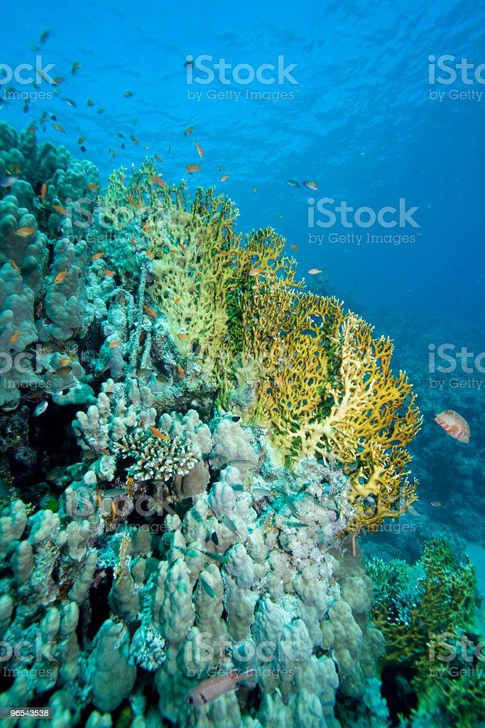 Koralowce na Morze Czerwone zbiór zdjęć royalty-free