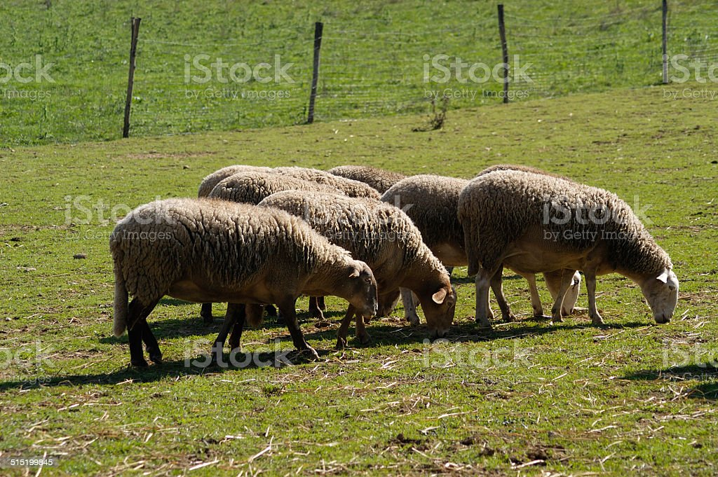 corderos pastando stock photo
