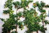 Fruit tree in the Jewish quarter in Cordoba