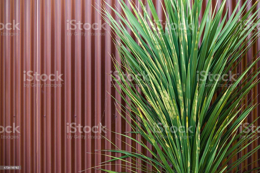 Cordyline Contrast stock photo