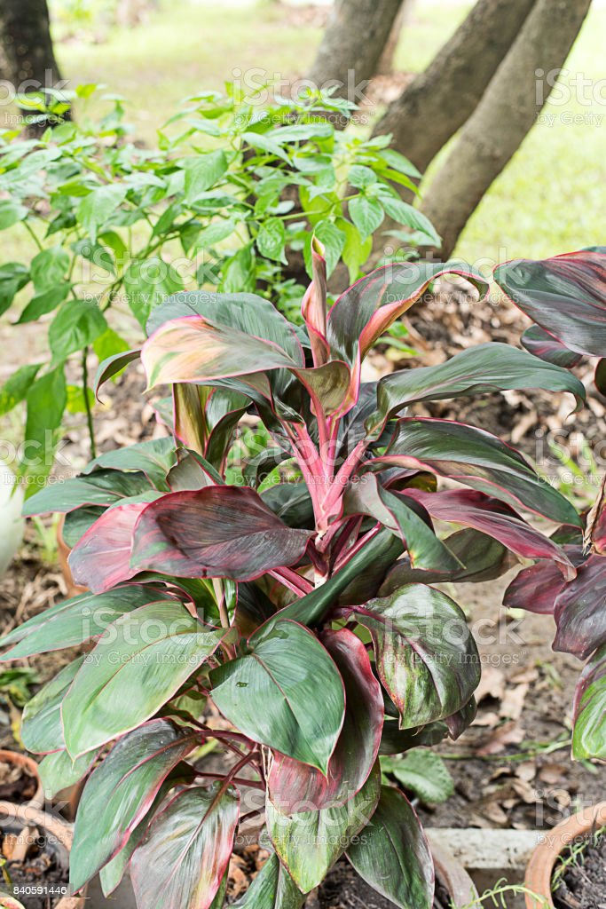 Cordyline fruticosa stock photo