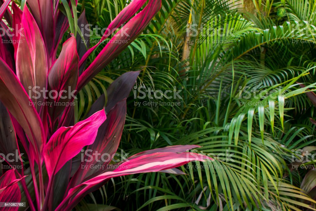 Cordyline fruticosa, pink plant, in nature. Tropical foliage, forest view. stock photo