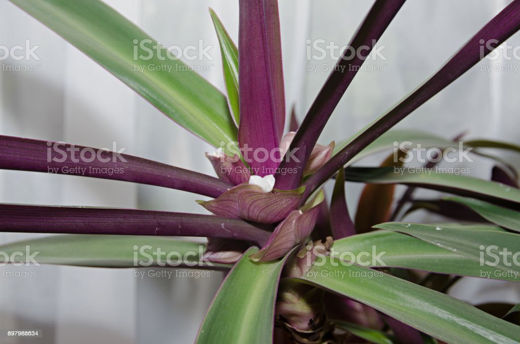 Cordyline Fruticosa White Flower Cabbage Palm Good Luck Plant Palm