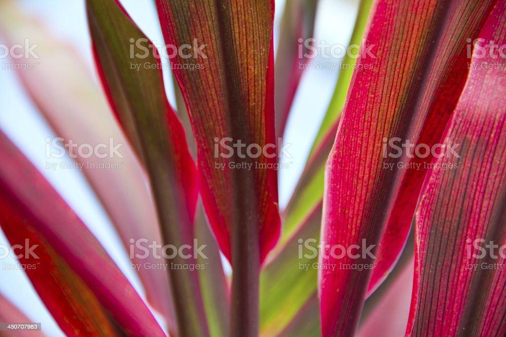 Cordyline leaves background stock photo