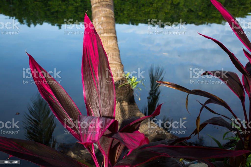 Cordyline leaves Cordyline fruticosa, Cordyline terminalis or Ti plant, Red leaf texture background stock photo