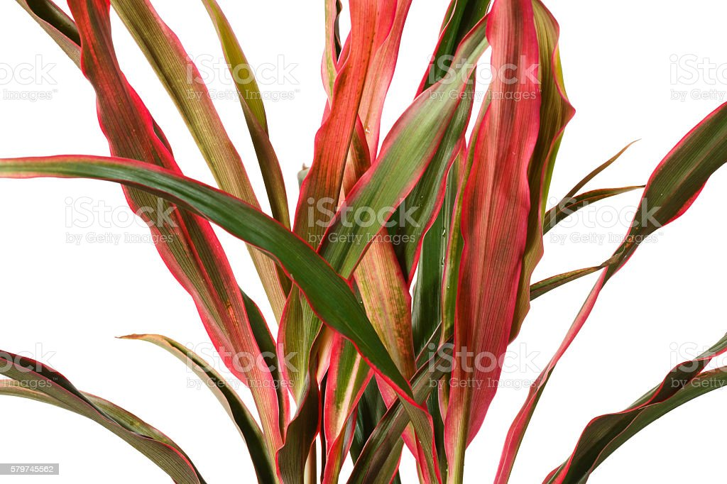 cordyline leaves isolated on white background stock photo