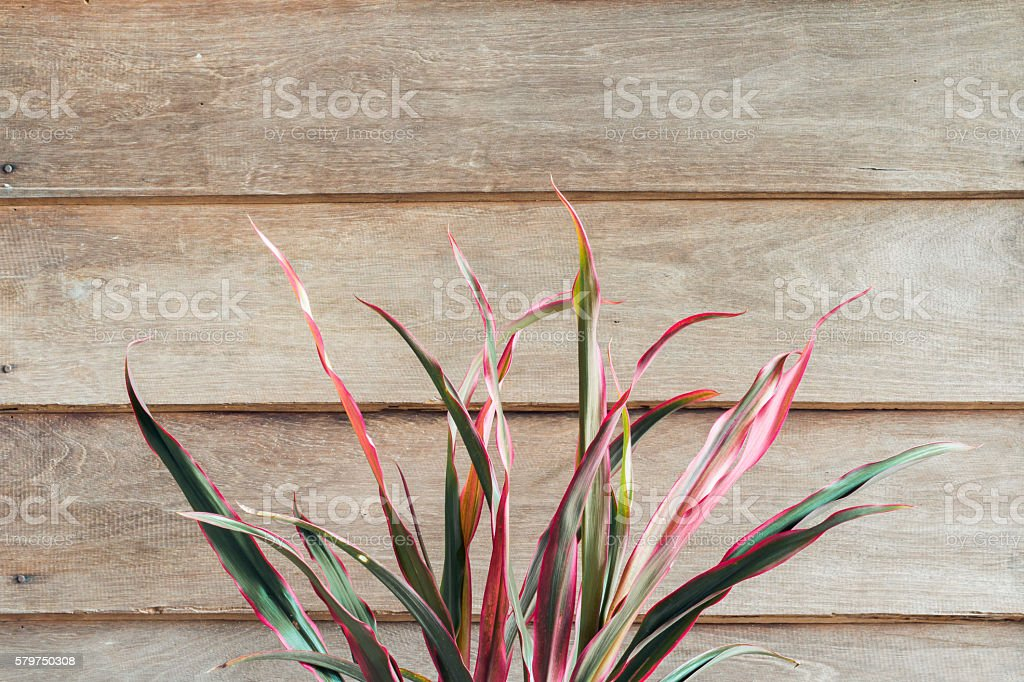 cordyline leaves on wooden background stock photo
