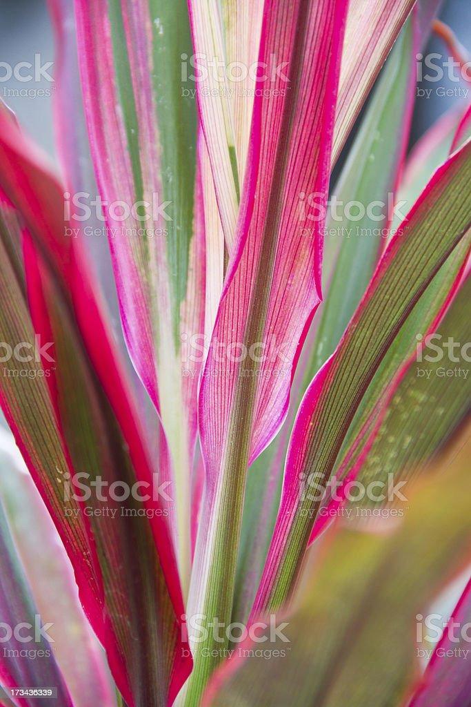 Cordyline leaves stock photo
