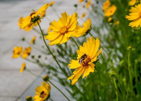 Coreopsis, bee sucking sweet honey