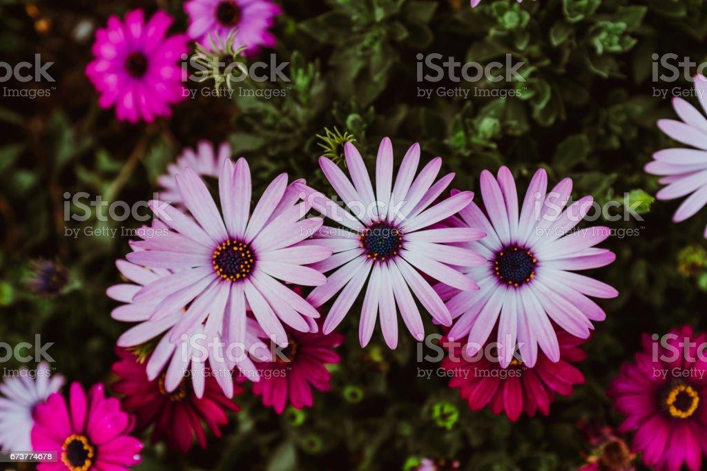 coreopsis daisy flowers photo libre de droits