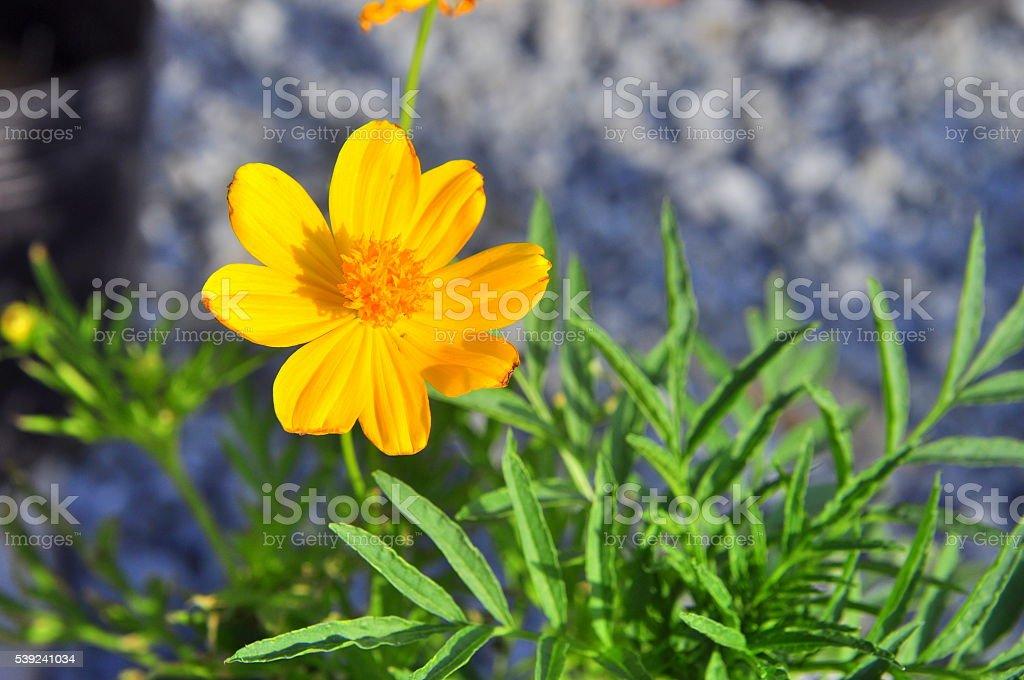 Coreopsis flor foto royalty-free