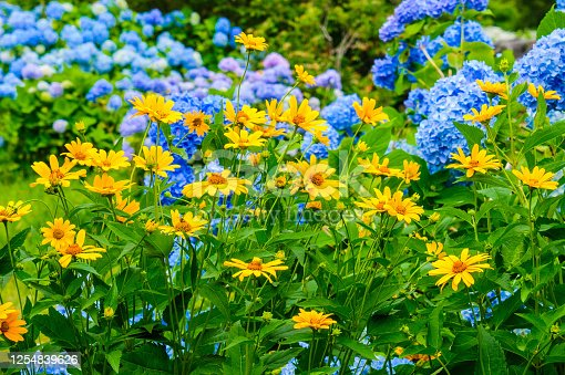 A garden of yellow coreopsis grows in front of a backdrop of blue hydrangea flowers along a quiet Cape Cod byway.