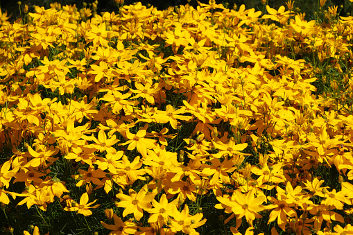 Coreopsis verticillata (Quirlblättriges Mädchenauge) flowers. Yellow flower with eight petals. Common names include whorled tickseed, thread-leaved tickseed and pot-of-gold.