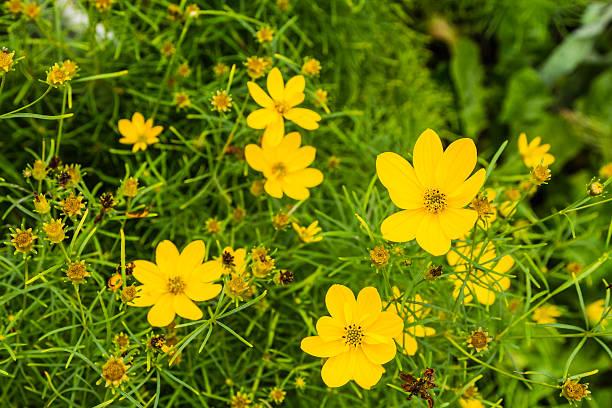 Coreopsis verticillata is species of tickseed in the sunflower family. stok fotoğrafı