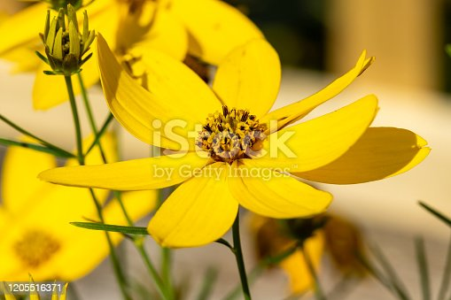 Coreopsis verticillata 'Zagreb' a yellow summer herbaceous  perennial, flower plant commonly known as tickseed